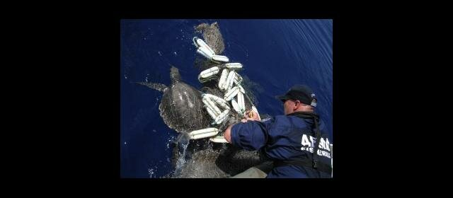 AFMA officer frees a turtle from marine debris and netting (source: AFMA)